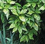 "(1 gallon) ACUBA ""Gold Dust"" ('Aucuba japonica variegata) - Bright Green Foliage Speckled with Gold. Giving The Appearance of Yellow Green Foliage."