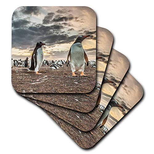 3dRose Danita Delimont - Penguins - Falkland Islands, Bleaker Island. Gentoo penguin colony at sunset. - set of 8 Coasters - Soft (cst_314364_2) ()