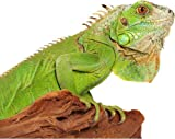 Green Iguana Lizard on a Wooden Stump - Etched Vinyl Stained Glass Film, Static Cling Window Decal