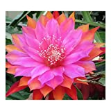 Epiphyllum Jolly Rogers - Orchid Cactus Jolly Rogers - 10 seeds