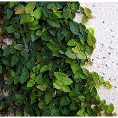 1 Well Rooted Plant Creeping Fig, Ficus pumila : Garden & Outdoor