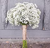 Baby's breath Gypsophila elegans 1000 seedsCut flower Fast Easy Grow CombSH
