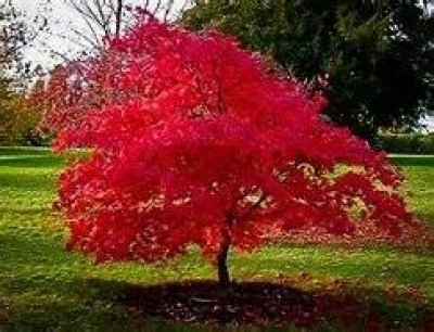 15 Seeds Amur Maple Tree use for Bonsai or Ornamental Yard Tree