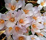 Hardy White Zonatus Fall Crocus 6 Bulbs - 6/+ cm