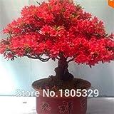200 pcs/bag rare bonsai Azalea Looks like sakura japanese cherry blooms seeds the budding rate 95%, (Mixed colors)