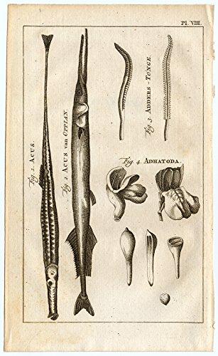Antique Print-NEEDLE FISH-GAR-ADDER'S TONGUE-MALABAR - Malabar Nut