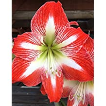 Amaryllis Bulb Red Amaryllis Minerva - 30/32 cm Bulb - Outstanding Indoor Blooms - FAST Blooming and Easy Care!