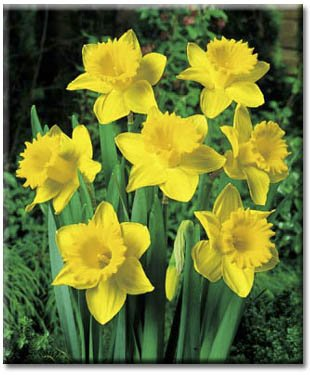 10 Narcissus 'Dutch Master'(King Alfred Improved) Daffodil Flower Bulbs ()