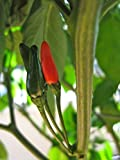 Pepper,siling Labuyo,(10 Seeds) Filipino Bird's Eye Chili Very Rare,super Hot