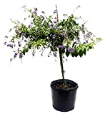 PlantVine Duranta erecta 'Sapphire Showers', Golden Dewdrop, Duranta Repens - Tree or Bush - Large - Tree or Bush - Large, Bush - 8-10 Inch Pot (3 Gallon), Live Plant - 4 Pack