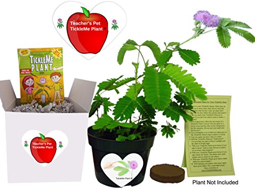 Gifts for Teachers- Show Appreciation - Pet TickleMe Plant - Grow the Classroom Plant that closes its leaves and lowers its branches when you Tickle It! Funny and Guaranteed to make Teachers Smile!