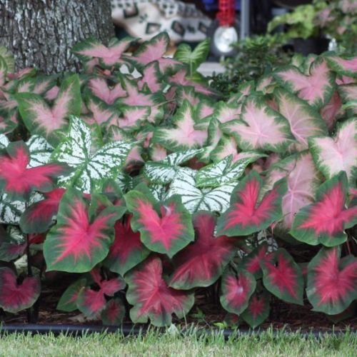 (Caladium Mix Color Foliage Bulb Summer Blooming Plant,3 bulb)