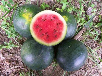 David's Garden Seeds Fruit Watermelon Blacktail Mountain D55113 (Red) 25 Organic Seeds