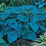 Blue Mountain Hosta