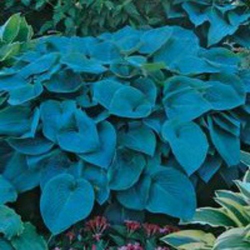 Blue Mountain Hosta