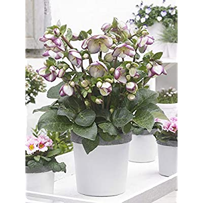 Perennial Farm Marketplace Helleborus Frostkiss Glenda's Gloss (Lenten Rose) Perennial, Size-#1 Container, Marbled Foliage with Violet-White Blooms : Garden & Outdoor