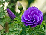 Alyogyne huegelii Blue Hibiscus Pint Plant