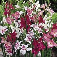 20 Bulbos de Gladiolos híbridos en mezcla