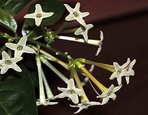 "10 PLANTS...NIGHT JASMINE, LIVE Plant, Fragrant Cestrum nocturnum Jessamine,12""+"