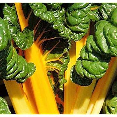 40 Yellow Canary Swiss Chard Beta Vulgaris Perpetual Spinach Vegetable Seeds : Garden & Outdoor