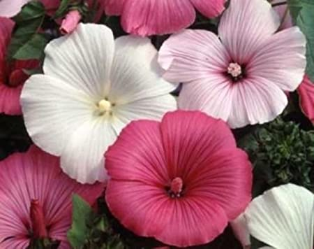 ROSE MALLOW SEEDS MIXED PINK//WHITE 25 FRESH SEEDS FREE SHIPPING TREE MALLOW