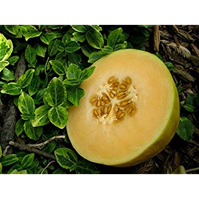 'Crenshaw' Melon - 50 Seeds: Garden & Outdoor