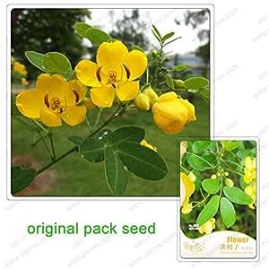 35 semillas / pack, semillas de Cassia, Cassia patio del bonsai plantas en macetas se pueden usar para bañarse flores de color dorado