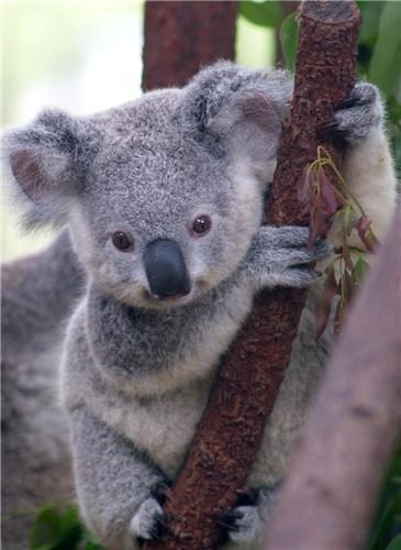 - KOALA GLOSSY POSTER PICTURE PHOTO bear trees marsupial australia joey animal