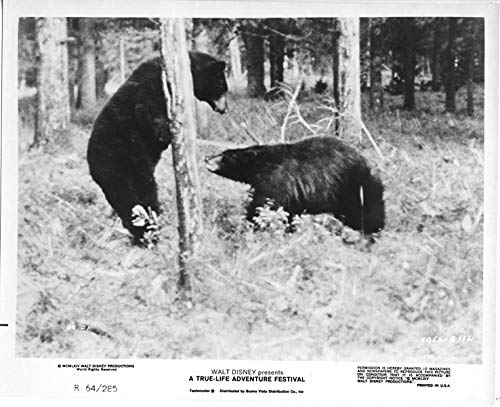 Disney True Life Adventure Festival original 1964 8x10 photo two bears in woods