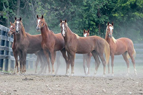 Chestnut Saddlebred Yearlings Photo Art Print Mural Giant Poster 54x36 inch