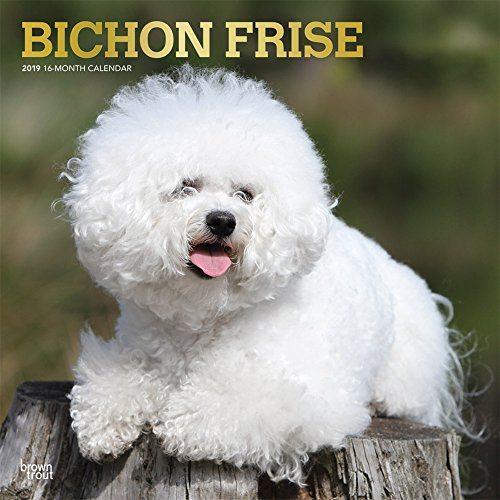 Bichon Frise 2019 12 x 12 Inch Monthly Square Wall Calendar with Foil Stamped Cover, Animals Dog Breeds (Multilingual Edition) ()