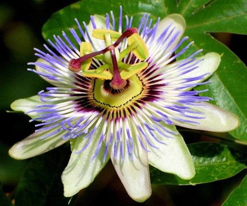 - Edible Passion Vine Plant - Passiflora caerulea - Exotic! - 4
