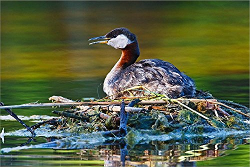 British Columbia, Red-Necked Grebe Bird on nest by Larry Ditto/Danita Delimont Laminated Art Print, 33 x 22 inches