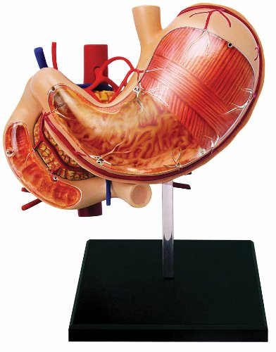 Learn about Human Anatomy - Stomach & Other Organs Model (Age (4d Anatomy Eyeball Model)