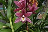 """Cymbidium Peter Fire """"Torch"""" Warm Growing! Fragrant Easy 2 grow Orchid Plant"""