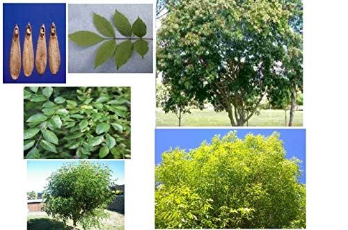 American White Ash Tree 25 Seeds Very Popular Shade Trees