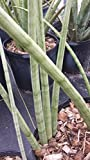 Sansevieria Cylindrica Succulents Live Plant African Spear artistic