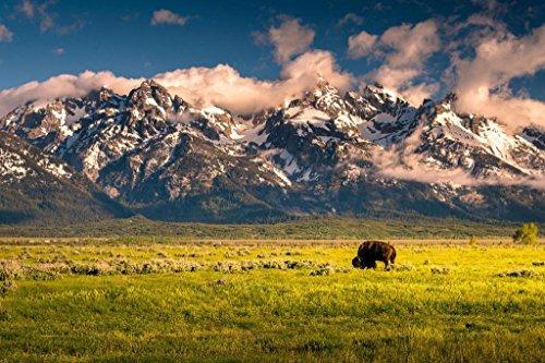 Bison Grazing Below Grand Teton Mountains Photo Art Print Poster 36x24 inch