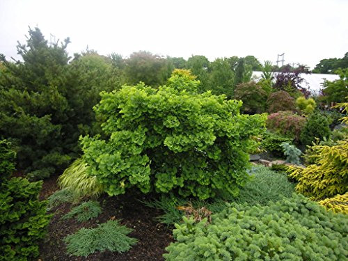 Planting Ginkgo Tree (6 Year PLANT of Ginkgo Biloba Jade Butterfly)