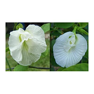 Butterfly Pea Vine Seeds: Single and Double White Mix, ALBA' Clitoria ternatea, Bunga telang, Edible/Tea and Decorative, Butterfly Garden/Host Plant (12+ Seeds) from USA. : Garden & Outdoor