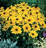 Flower Rudbeckia Indian Summer D1148 (Yellow) 500 Open Pollinated Seeds by David's Garden Seeds