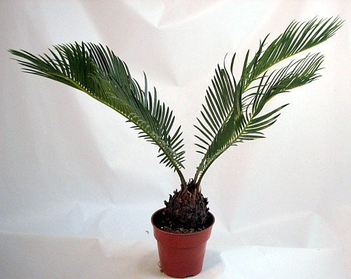 Japanese Sago Palm - GREAT GIFT EASY TO GROW - 4
