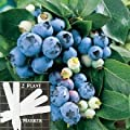 Organic Bluecrop Blueberry (Heirloom) 300+ Seeds 646263362747 + 2 Free Plant Markers