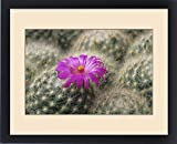 Framed Print of Flowering pincushion cactus. Mammillaria guelzowiana. Native to Durango, Mexico