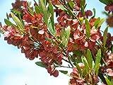 CROSO Seeds PACAKGE ONLY NOT Plants: Dodonaea - Native Hop Seeds