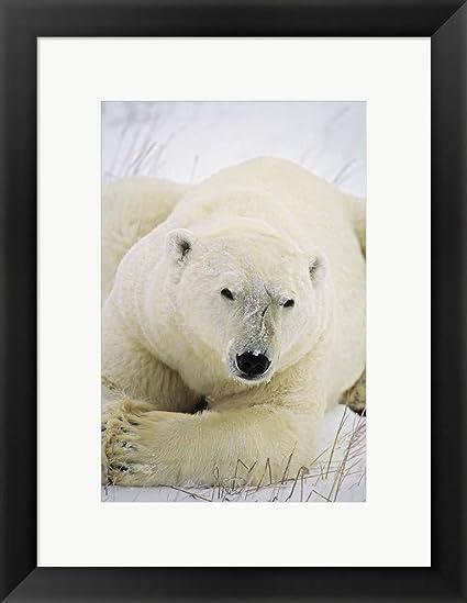 Amazon.com: Great White Polar Bear by DesignPics Framed Art Print ...