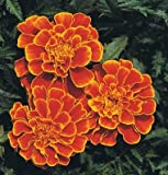 David's Garden Seeds Flower Marigold Queen Sophia D1617 (Orange) 100 Open Pollinated Seeds
