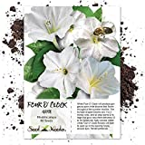 Seed Needs, White Four O' Clock (Mirabilis jalapa) 60 Seeds