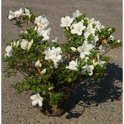 サツキ (白花) 5号ポット10本セット B00EQI29L0