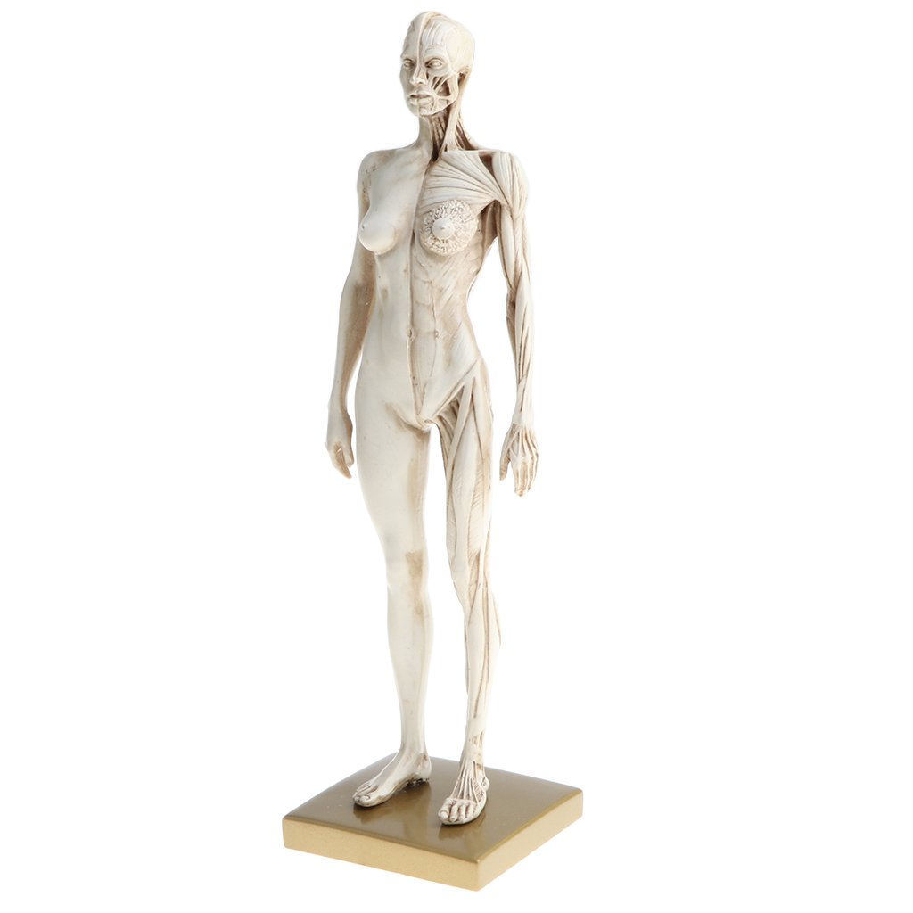 D Dolity 11 Female Anatomy Figure Ecorche And Skin Anatomy Model